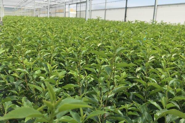 Nieuwe kweek Prunus lusitanica angustifolia is rondgeworteld!